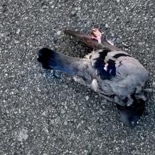 pigeon-1454_6509638363_o