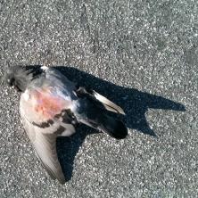 pigeon-1667_6509645001_o