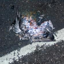 pigeon-2897_6509657629_o