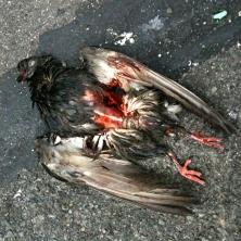 pigeon-four_5200398701_o